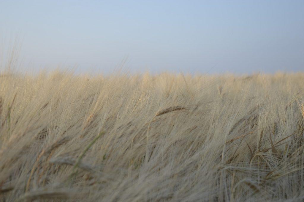 Weizen in Silmenitz auf Rügen
