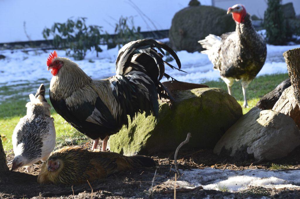 Hühner in Üselitz