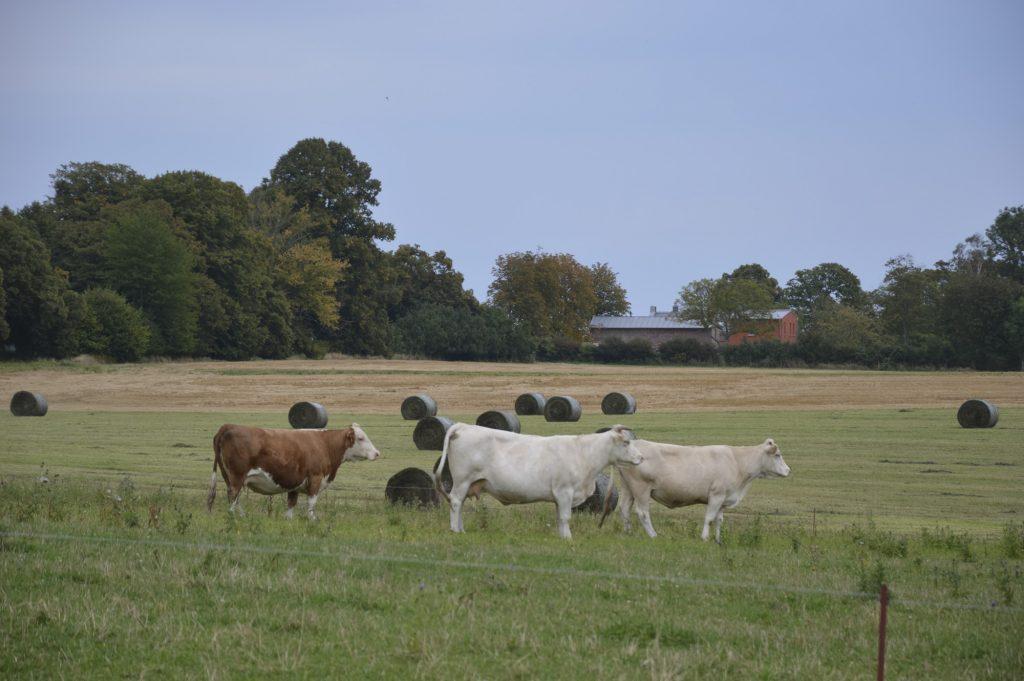 Puddemin, Rügener Märchenstraße: Kühe auf der Weide